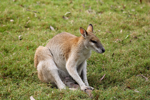 Kangaroo holding his tail