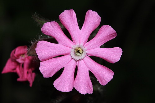 Red Campion 7193