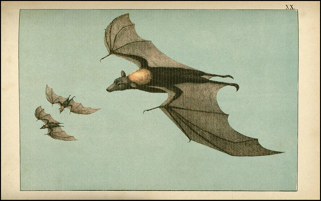 zoological chromolithograph - Le chiroptère ou vampire de java
