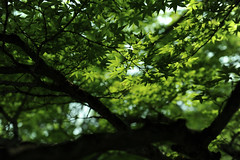 [Free Images] Flowers / Plants, Maple, Green Color ID:201206030600