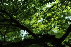 [フリー画像素材] 花・植物, カエデ・モミジ, 緑色・グリーン ID:201206030600