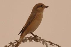 Turkestan Shrike (Female)