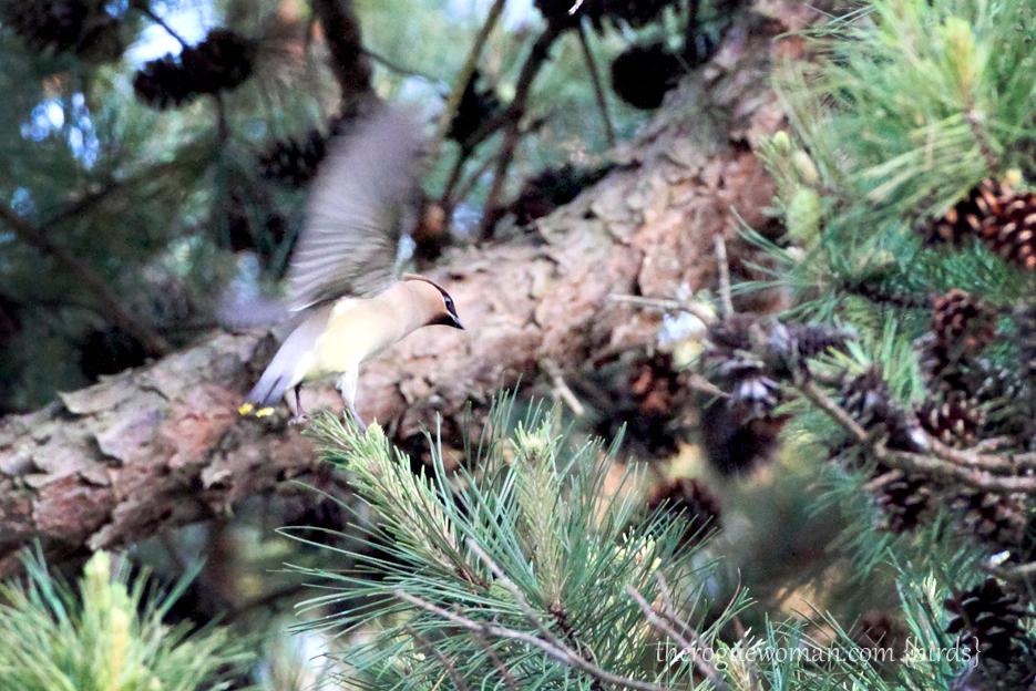 053012_02_bird_CedarWaxeing01
