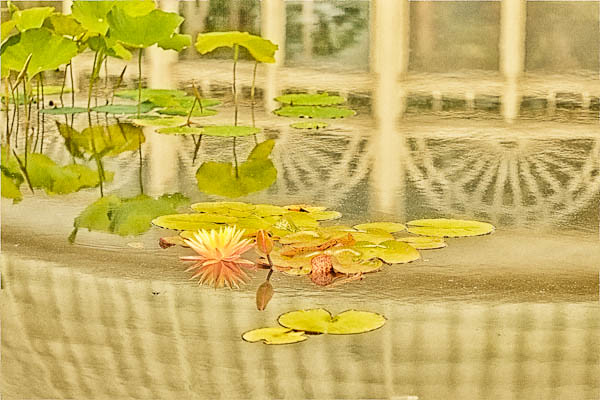 Lilies in Refection Pool