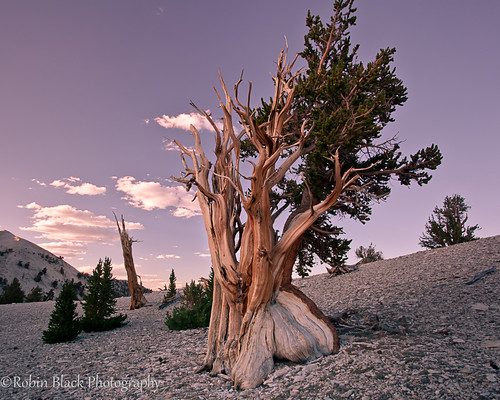 Ancient Bristlecone With Evening Light