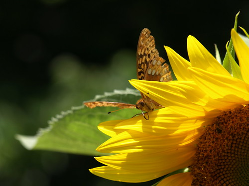 Butterfly on Sunflower by cicerocat