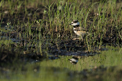 Killdeer Baby_5480.jpg by Mully410 * Images
