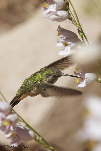 The Broad-Tailed Hummingbird