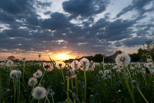 sunset white field grass clouds nikon bosnia sigma dandelion herzegovina 1020mm dandelions hercegovina bosna d60 polje maslačak f456 maslacak bosanska dubica kozarska maslačaka