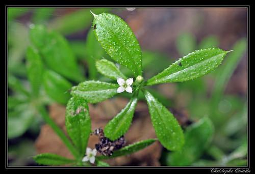 Gaillet gratteron (Galium aparine)