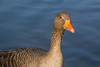 Graugans / Greylag Goose - cleaned by julian.voelker95