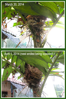 Nest of Pycnonotus goiavier (Yellow-vented Bulbul) had tilted precariously, April 1 2014