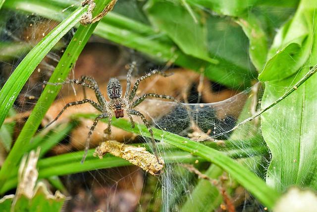 joshuatan_wolf_spider