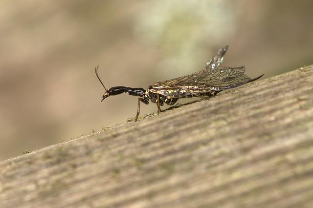 Snake-fly