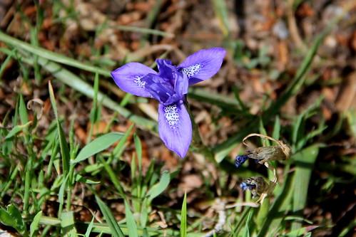 Barbary Nut Iris