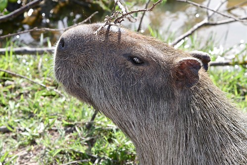 Capibara young male