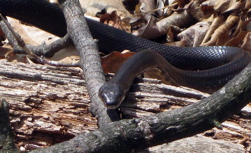 Snake along Appalachian Trail
