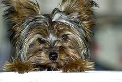 dog breed, animal, dog, schnoodle, pet, australian silky terrier, glen of imaal terrier, vulnerable native breeds, biewer terrier, morkie, cairn terrier, australian terrier, carnivoran, yorkshire terrier, terrier,