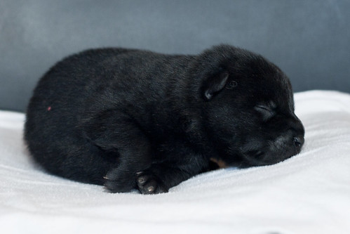 Ayu-Litter1-Day05-Puppy5-Male-b