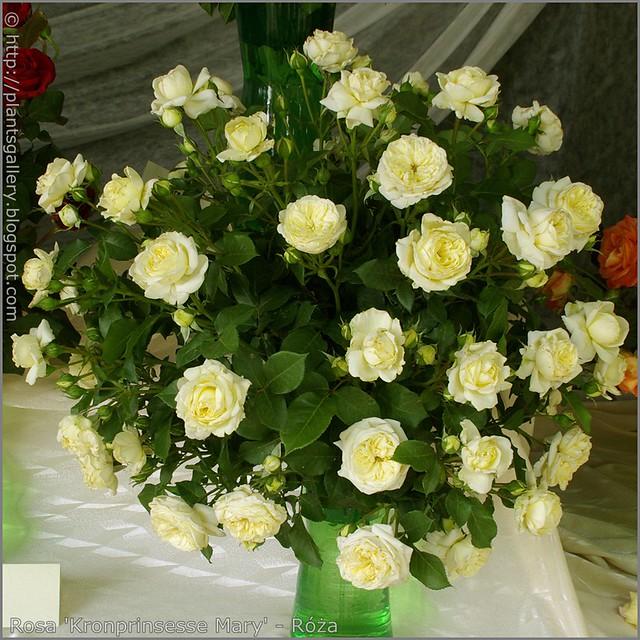 Rosa 'Kronprinsesse Mary' - Róża