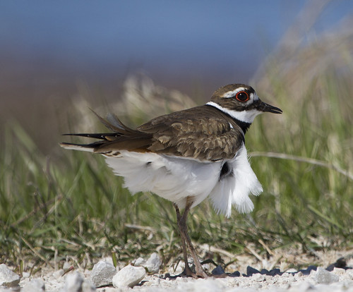 Killdeer Horicon Marsh by Ricky L. Jones Photography