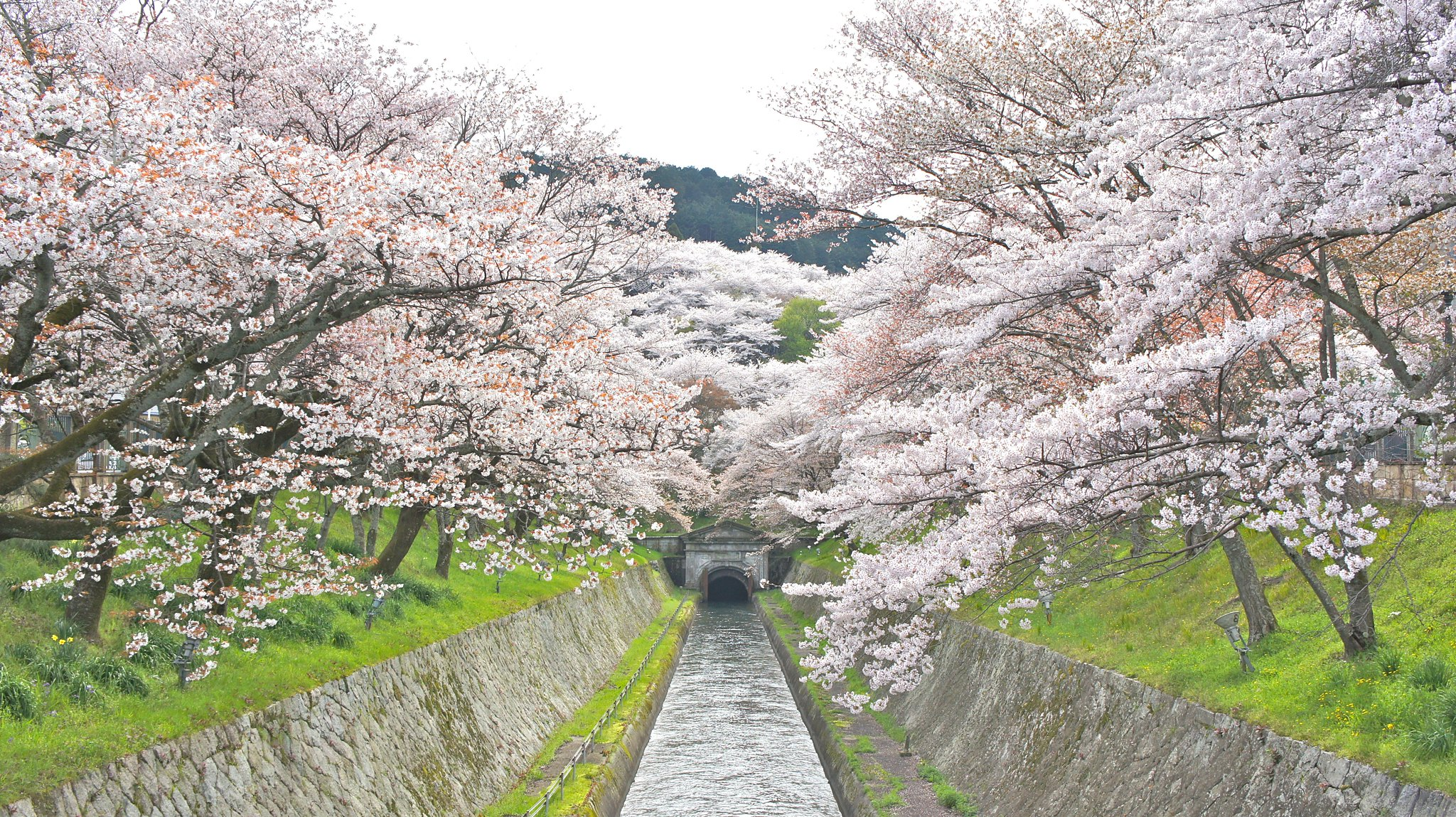 三井寺 琵琶湖疏水の桜