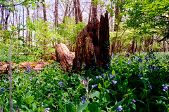 Stump and Bluebells