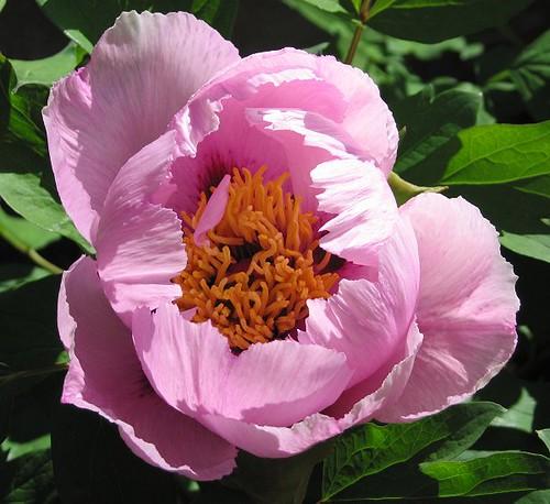 Lan Hudie, Full Bloom. by Leenechan