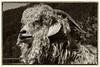 Angora goat at Sanctuary One