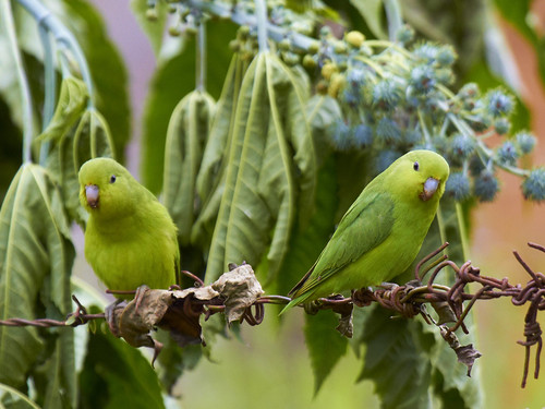 Tuim-macho - Blue Winged Parrotlet-male (Forpus xantopterygius)