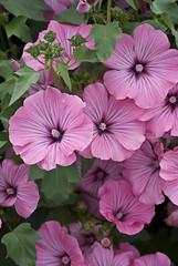 malva(0.0), annual plant(1.0), geranium cinereum(1.0), flower(1.0), purple(1.0), pinkladies(1.0), plant(1.0), flora(1.0), pink(1.0), petal(1.0),