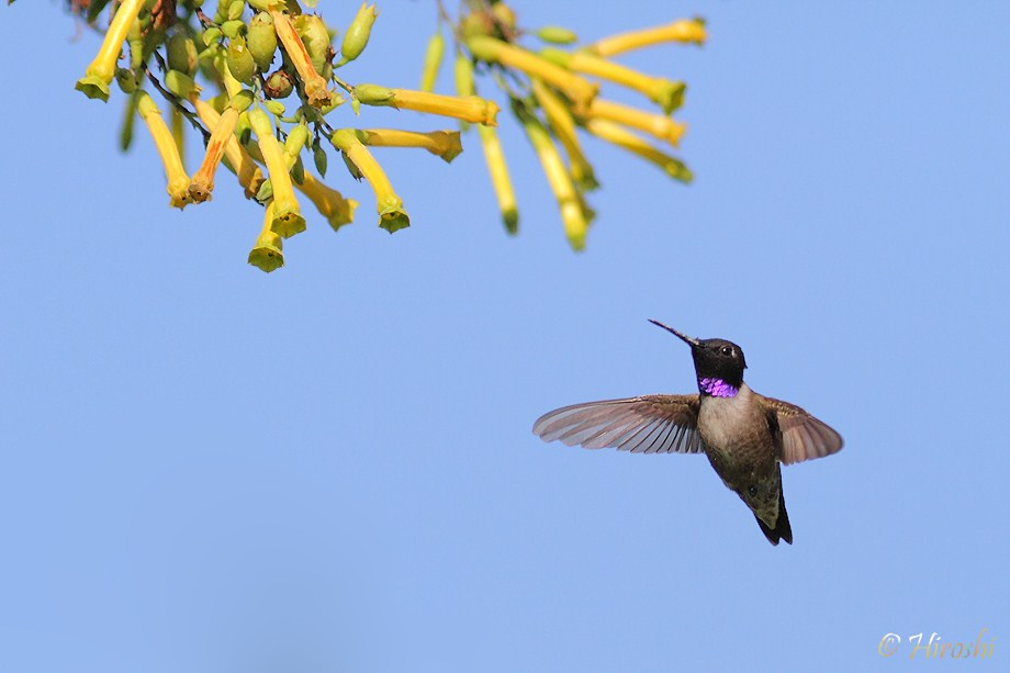 Black-chinned-Hummingbird  050812-2