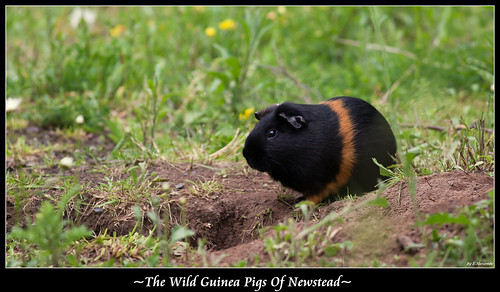 ~The Wild Guinea Pigs Of Newstead~