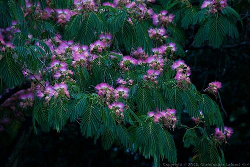 pink flower blossom mimosa nikond700 heurebleu sigmabigos