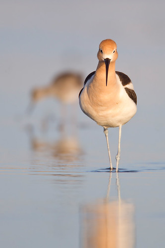 Oak Hammock Avocet Head-On by Jeff Dyck