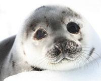 Canada Seals
