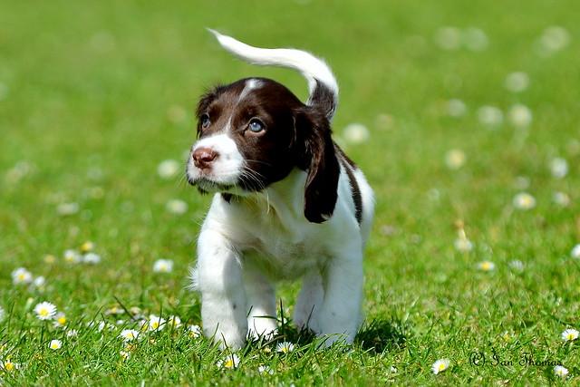 Springer Spaniel Puppy...