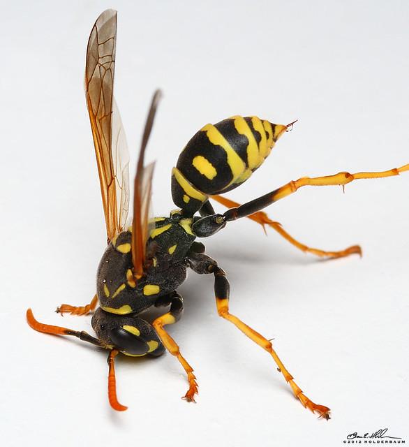 wasp stingerWasp Stinger In Skin