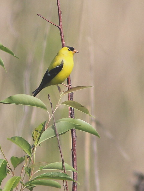 American Goldfinch 20120518