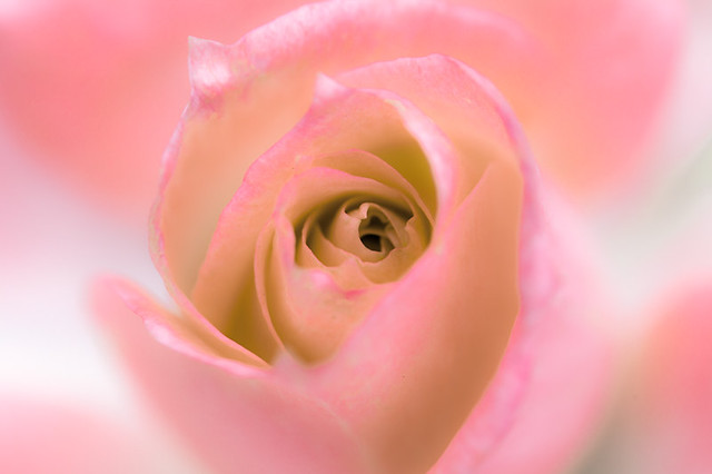 A Daydream (Pink)