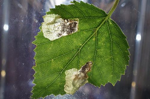Eriocrania salopiella tenanted mine (2)
