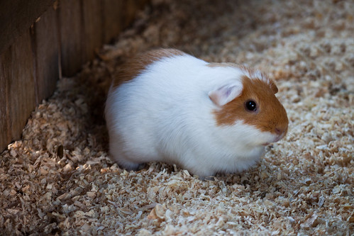 Alma Park Zoo - Guinea Pigs 2 by Lonnie Riley