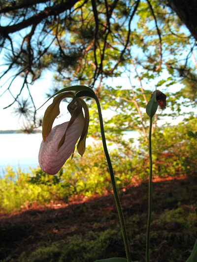 Ladyslippers at Needle Point