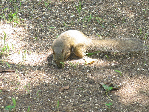 CrabAppleLane Squirrel - June 17, 2012