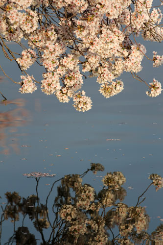 cherry blossoms reflected in the water