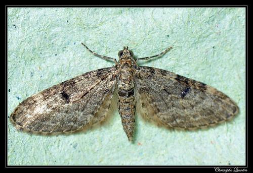 Eupithécie des résineux (Eupithecia tantillaria)