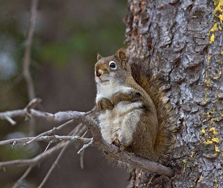 Brown Squirrel 2014