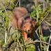 Red Squirrel - Kinnordy Loch