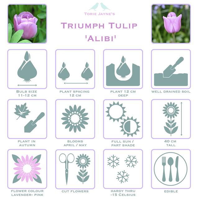 Triumph Tulip 'Alibi' details