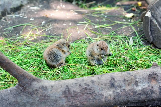 上野動物園のプレーリードッグの子どもの写真